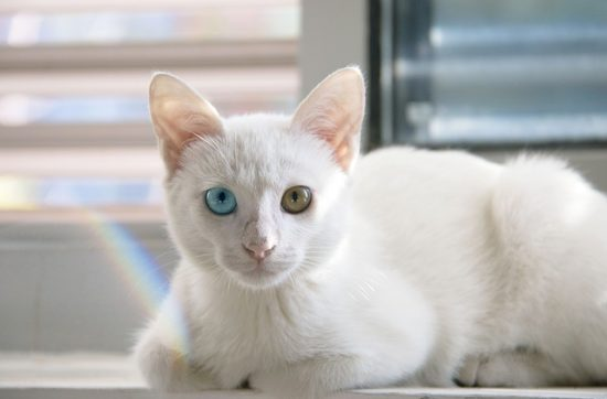 chat yeux vairons