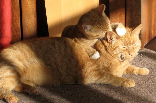 chats qui se lèchent