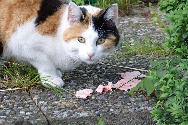 chat nourriture viande
