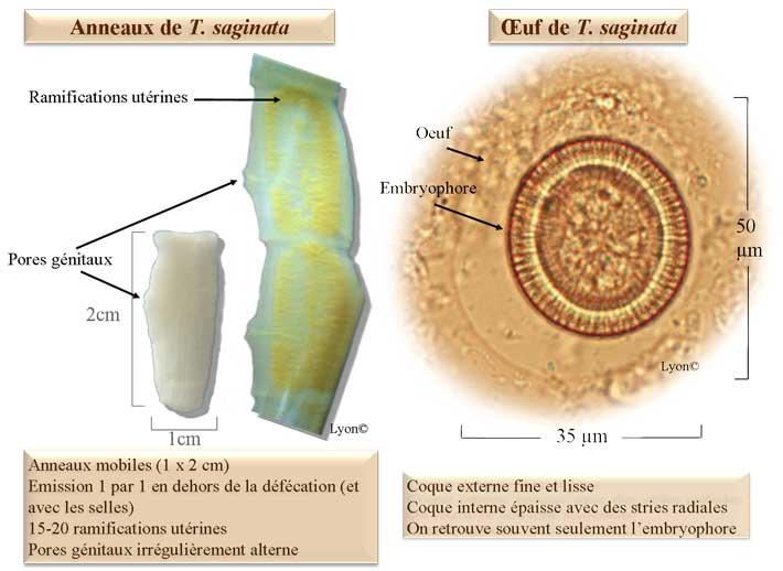ténia microscope oeuf schéma