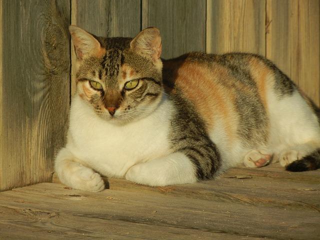 chat bois apparent