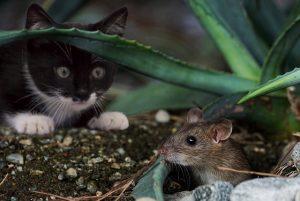 chat observe souris