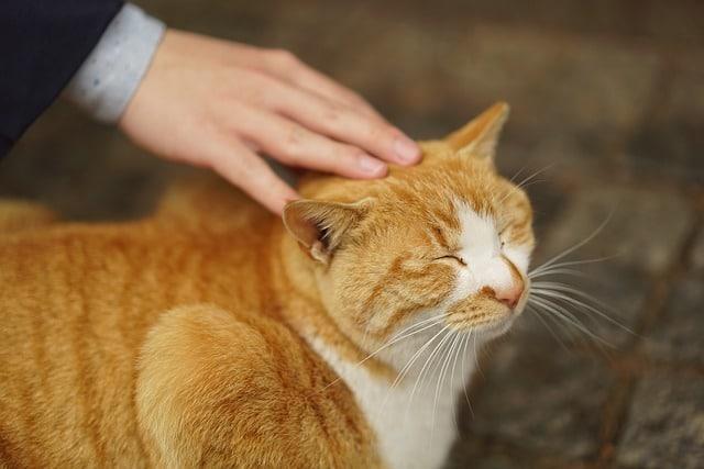 chat rassuré caressé