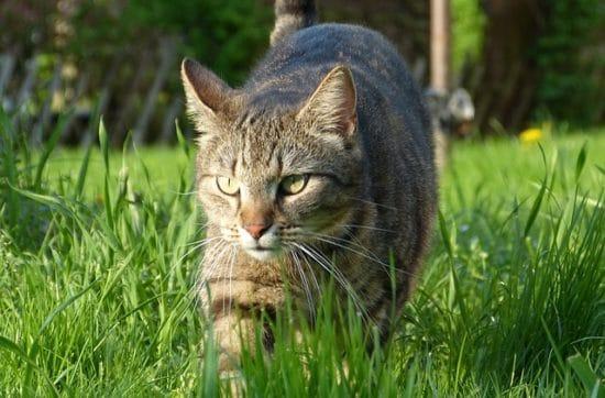 herbe-au-chat