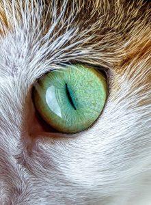 profil chat oeil