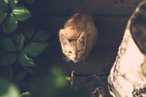 chat vulnérable