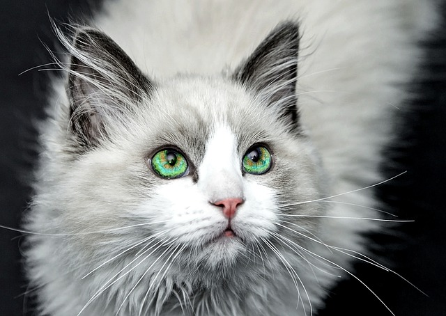 chat yeux vert regard profond