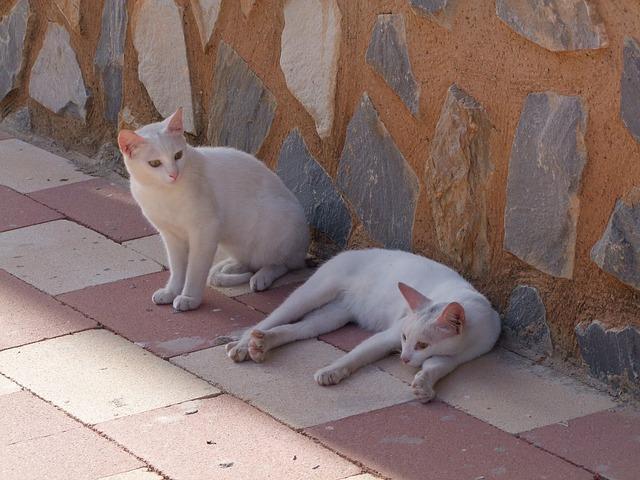 chats blanc paisibles