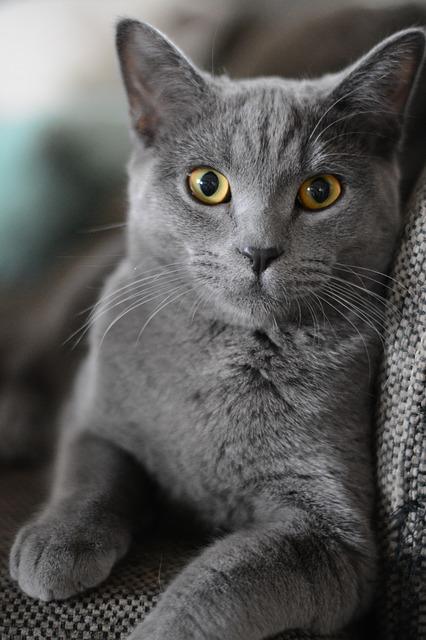 portrait de chat fauteuil
