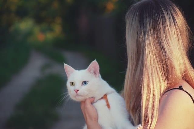 chat blanc yeux vairons porté
