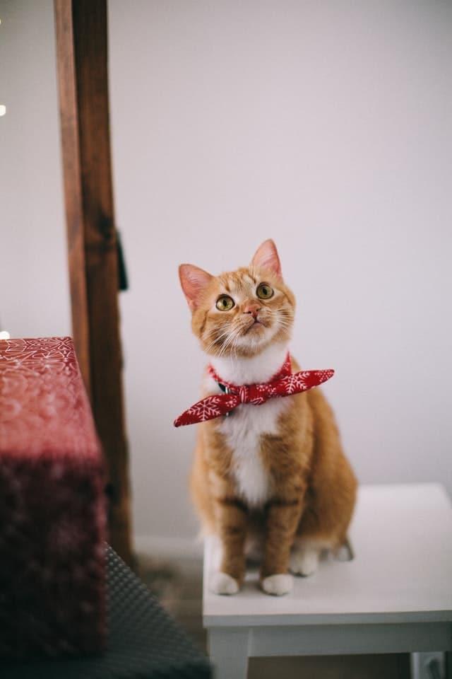 chat sur siège avec bandana
