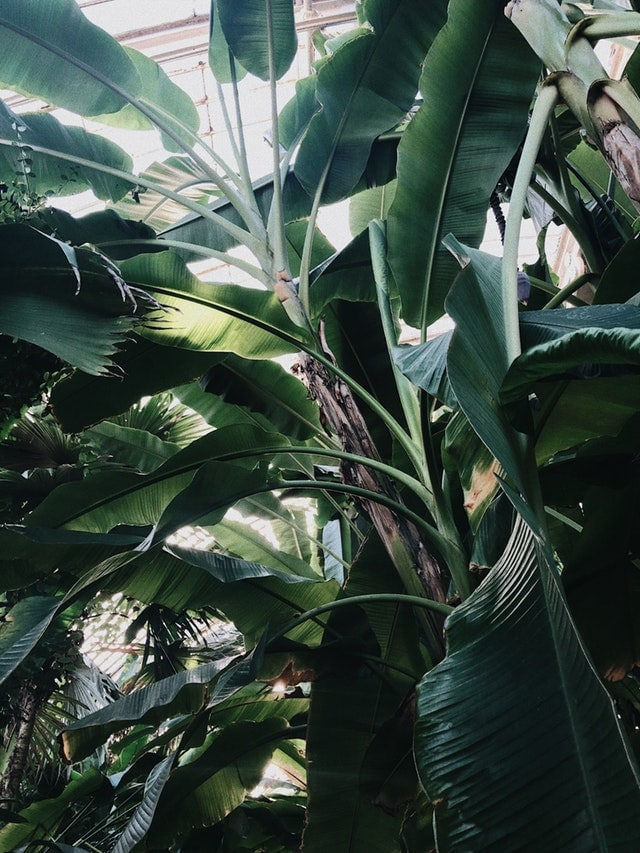 bananier feuille arbre