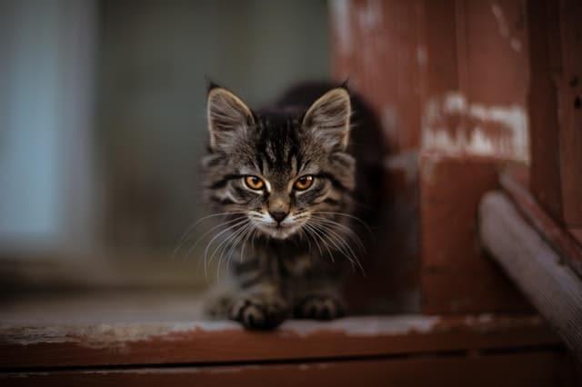 chat noir de face