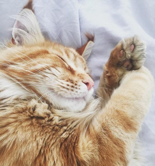 chat se reposant yeux fermés