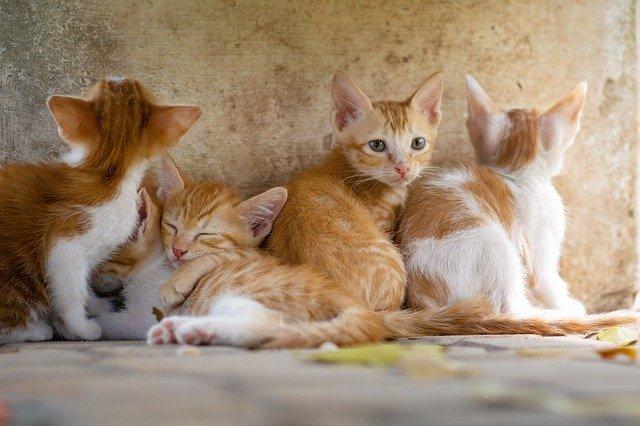 maladies courantes chat